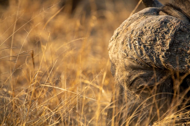 Herd of Buffalo – zdjęcie