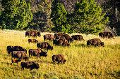 A herd of buffalo grazes on a hillside.