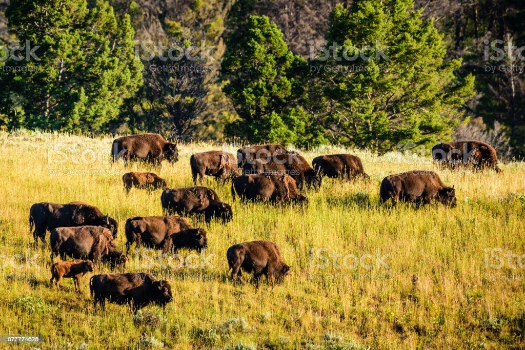 Troupeau de buffalo - Photo