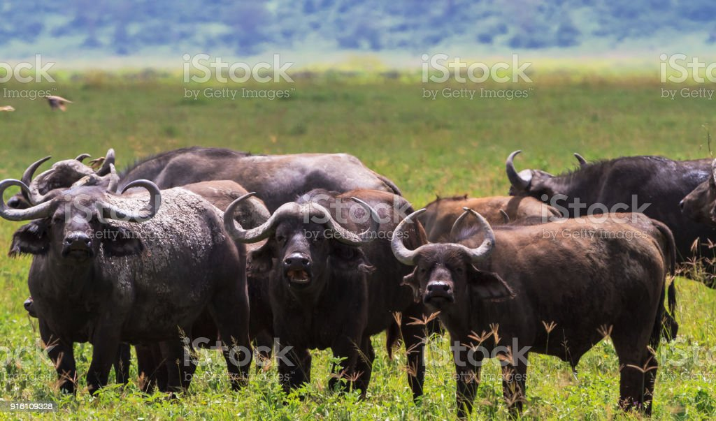 A herd of buffaloes inside a volcano. NgoroNgoro, Tanzania - foto stock