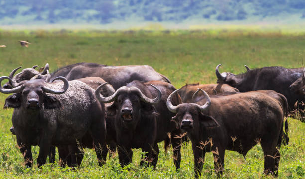 A herd of buffaloes inside a volcano. NgoroNgoro, Tanzania A herd of buffaloes inside a volcano. NgoroNgoro, Tanzania ngorongoro conservation area stock pictures, royalty-free photos & images