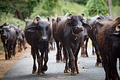 A herd of buffaloes is walking in the street to the meadow somewhere in the south of India