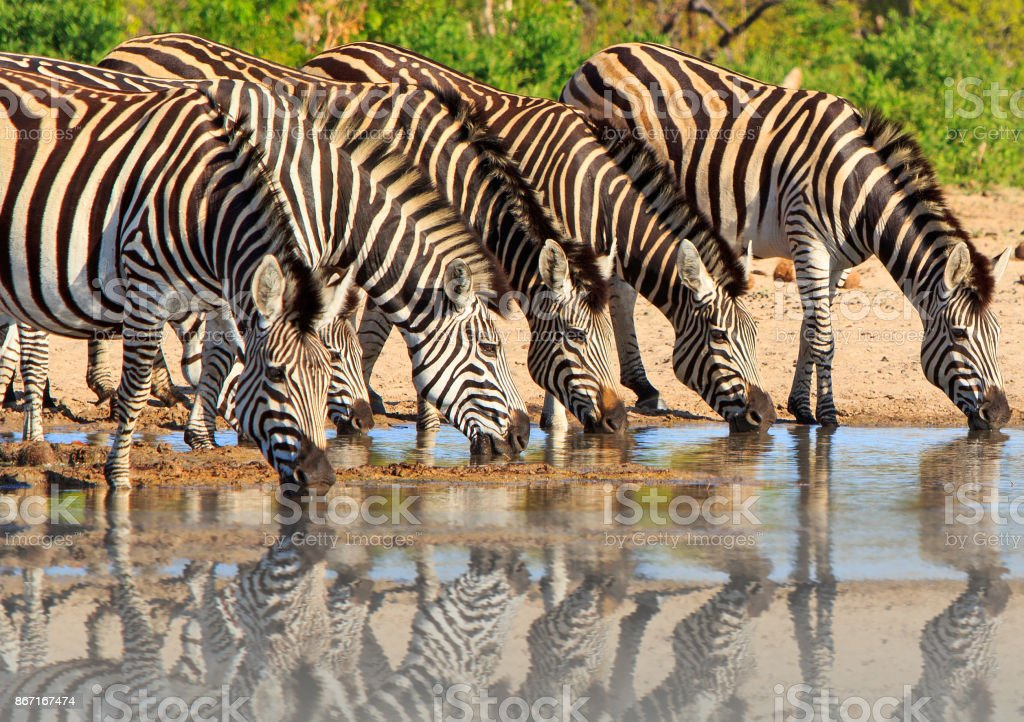 Herd of Burchells zebra taking a drink from a waterhole in Hwange, Zimbabwe, stock photo