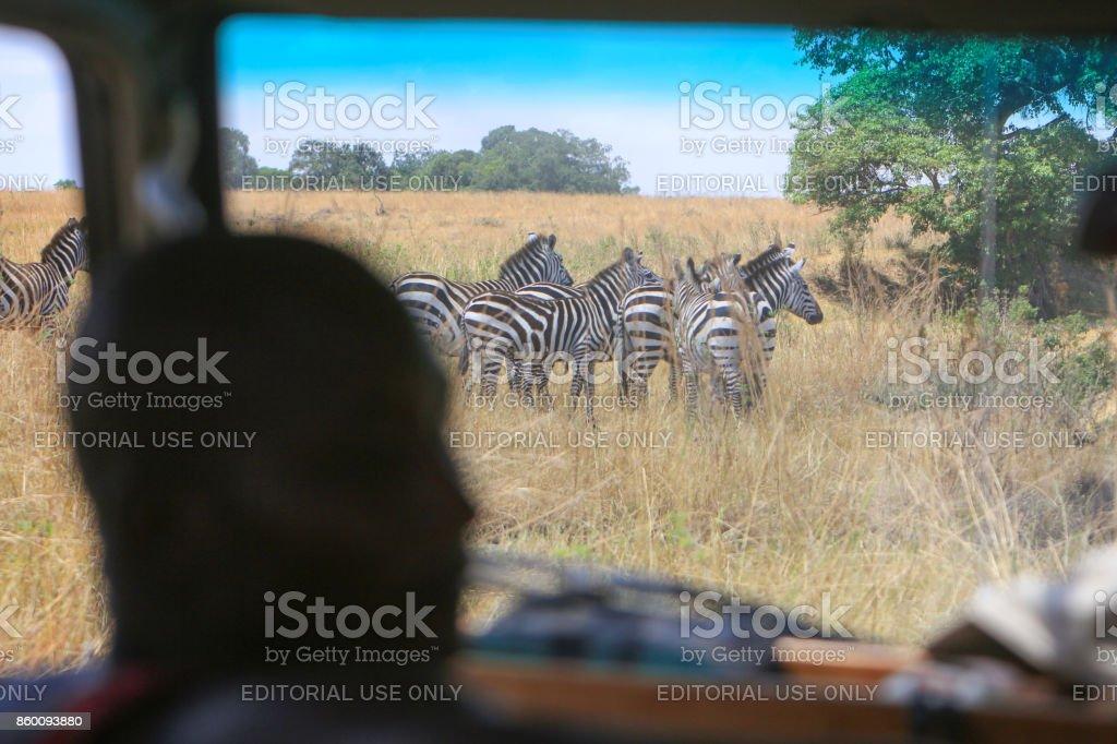 Herd of Burchell's zebras from inside a safari car in the Masai Mara...