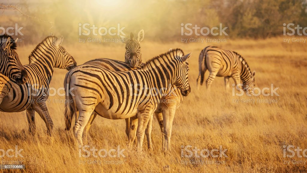 Herd of Burchell's zebras (Equus burchelli) in the dry grass and golden early morning light of Etosha National Park, Namibia. stock photo