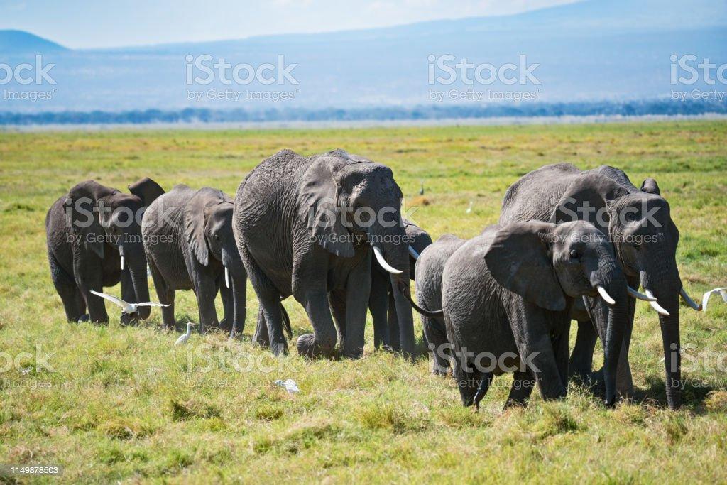 Herd of bush elephants with calfs stock photo