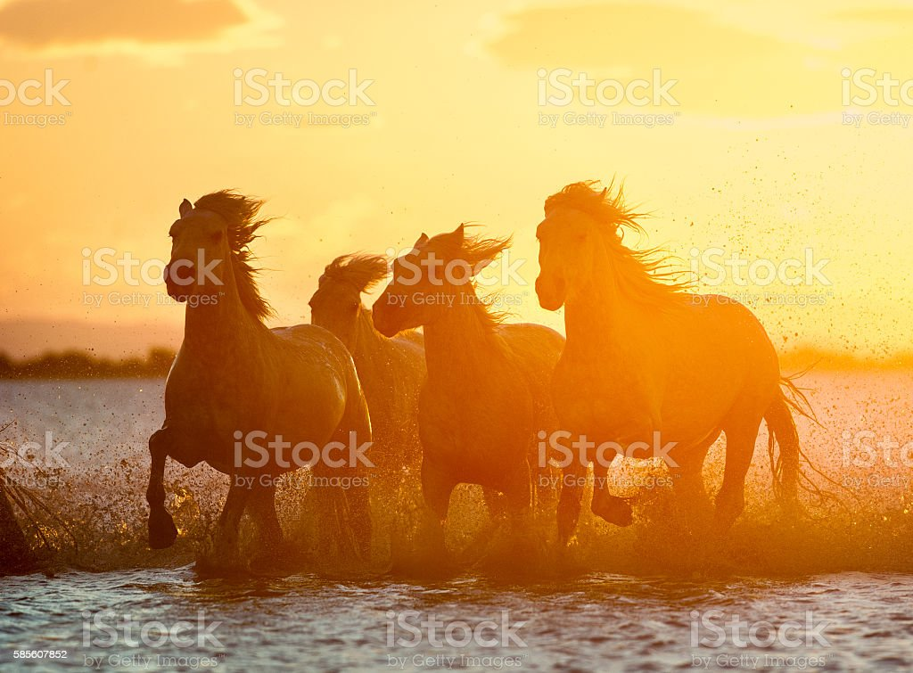 herd of camargue horses on sunrise water stock photo
