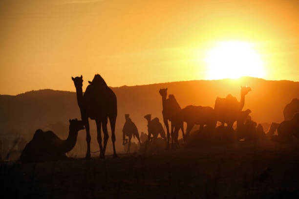 A herd of camels in the backdrop of  rising Sun's golden light at Pushkar Camel Fair stock photo