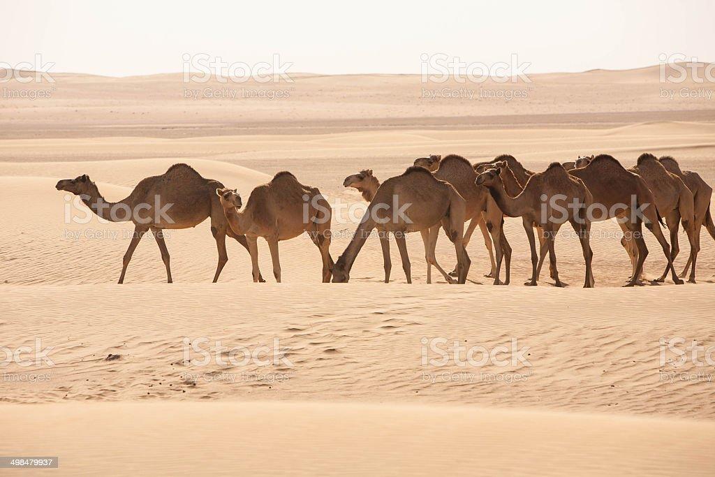 Herd of Camels in the Desert stock photo