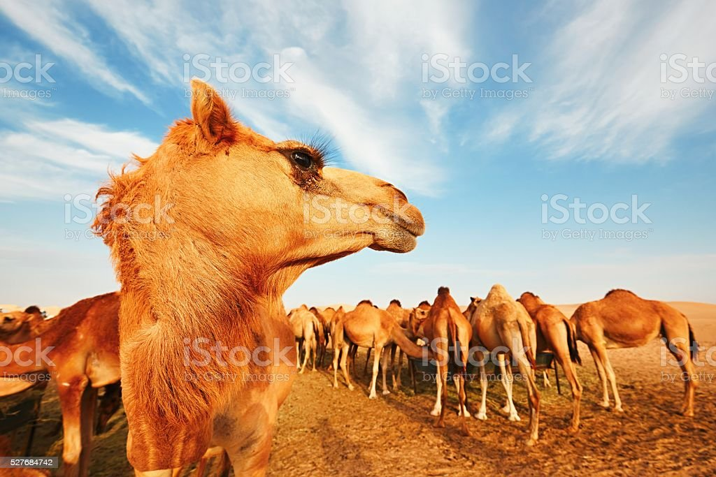 Herd of camels stock photo