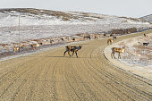 Herd of Caribou Crossing Dirt Road in Winter