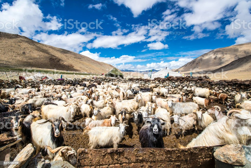 Herd of Cashmere (Pashmina) goats in Changthang, Ladakh stock photo