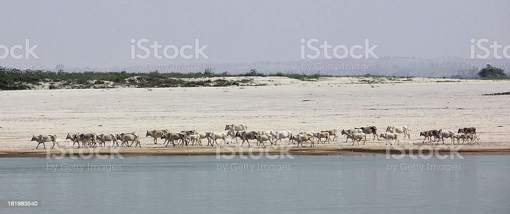 herd of cattle at Irrawaddi river royalty-free stock photo