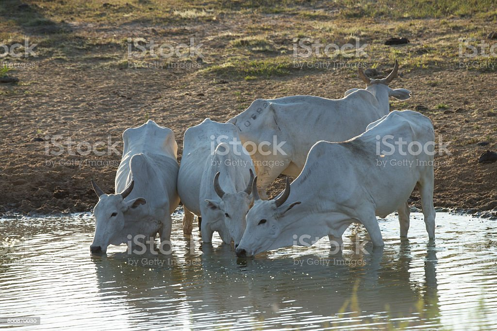 Herd of cattle at the water in Pantanal Brazil stock photo