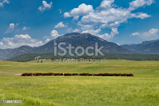 Herd of beef cattle grazing in a sunny green pasture on a ranch beneath the Rocky Mountains near Pagosa Springs, Colorado