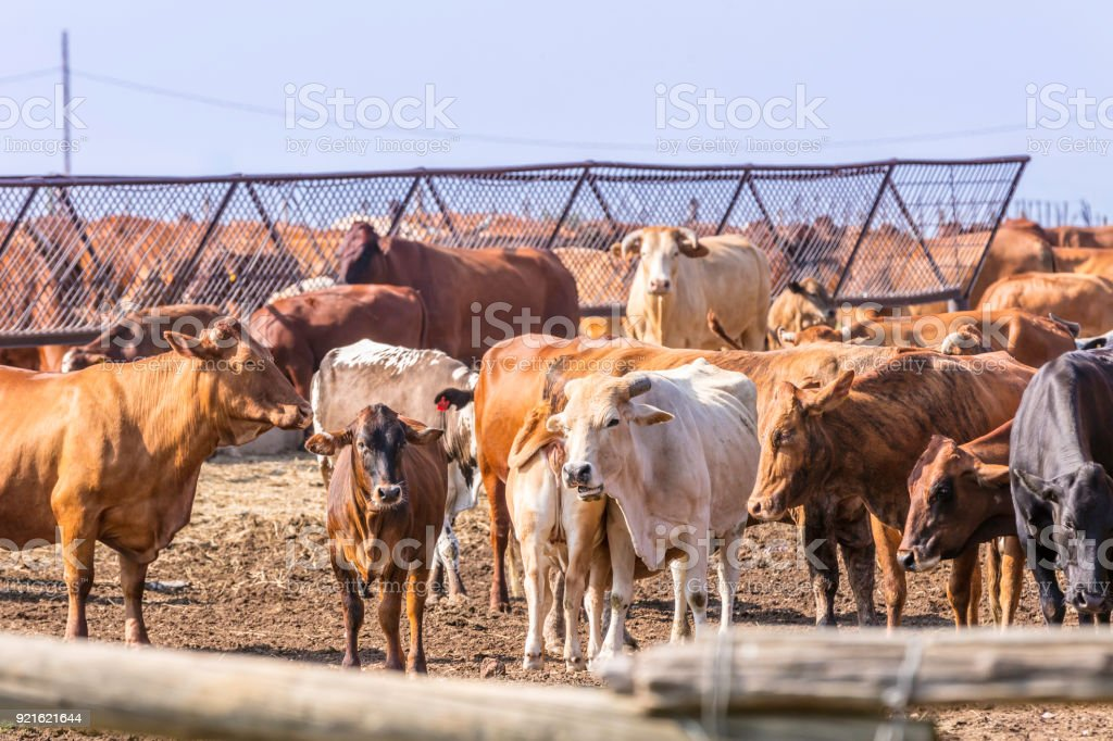 Herd of cattle in their pen after their feeding stock photo