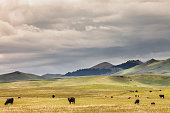 Cattle grazing in a scenic grass pasture with a Montana mountain range in background and a dramatic cloudy sky above. No people in image.