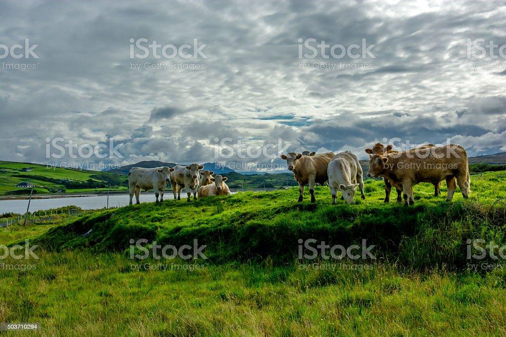 Herd Of Cattle On Pasture In Ireland stock photo