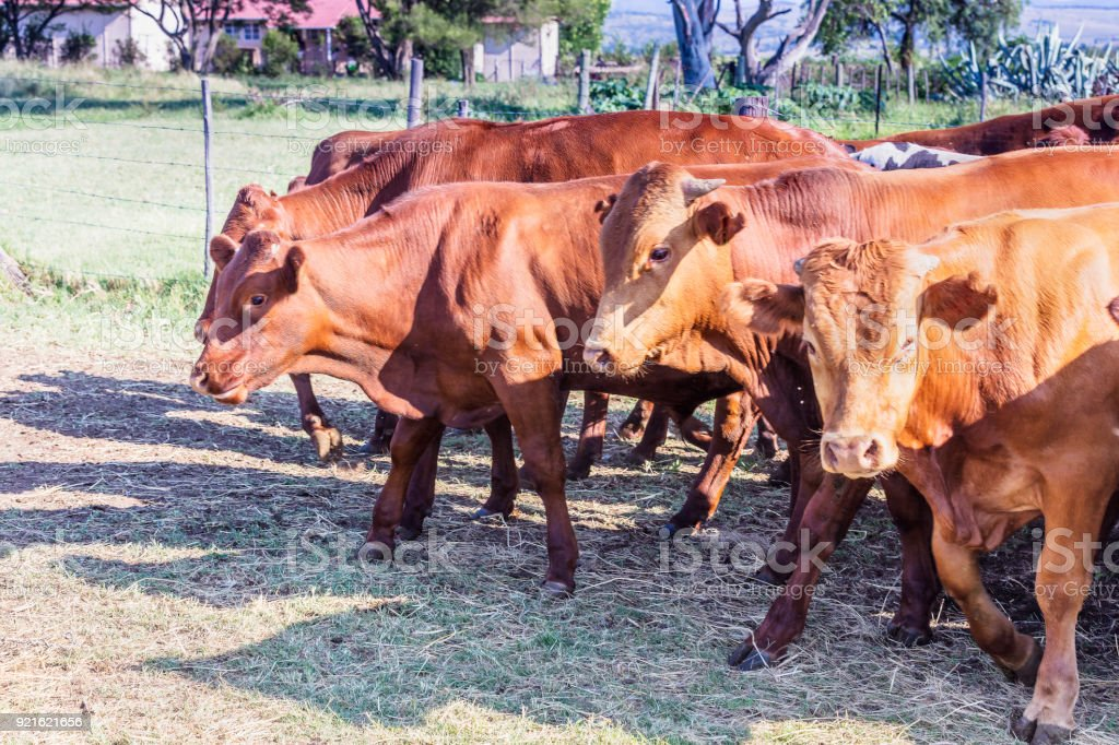 Herd of cattle on their way to greener pastures stock photo
