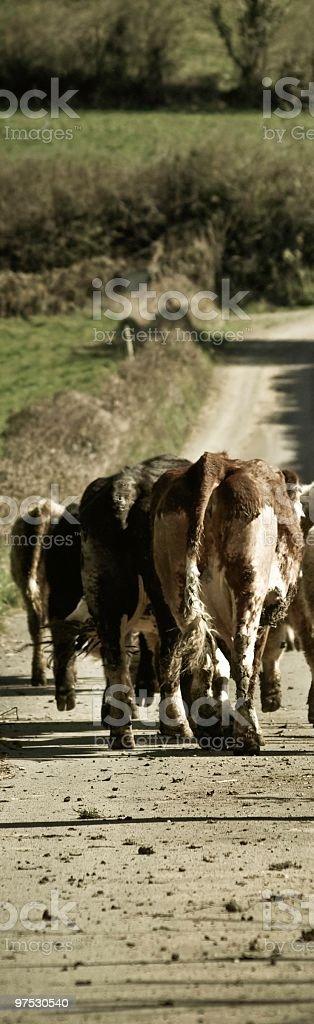 Herd Of Cattle running down muddy Irish road royalty-free stock photo