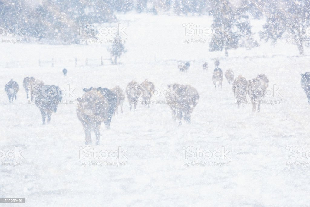 Herd of Cattle Standing in a Snow Storm Blizzard stock photo