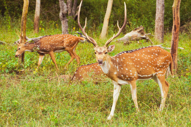 Herd of Chital/Spotted/Axis Deer Herd of Chital/Spotted/Axis Deer, India axis deer stock pictures, royalty-free photos & images
