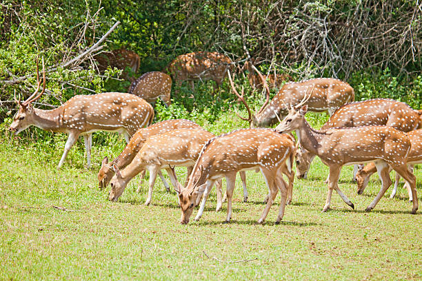 """Herd of Chital/Spotted/Axis Deer, Yala NP, Sri Lanka """"A herd of the deer species variously called Chital, Spotted Deer or Axis Deer,"""" yala stock pictures, royalty-free photos & images"""