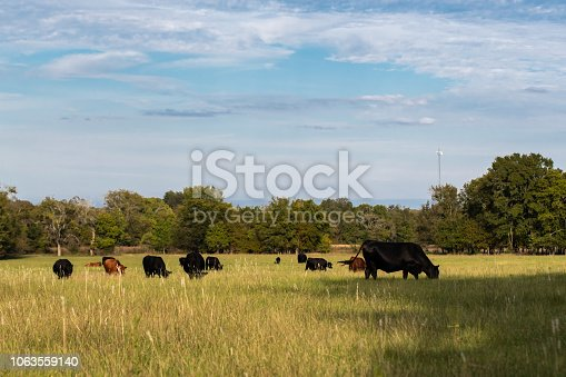 Herd of commercial beef cows and calves in a late summer pasture on a sunny day