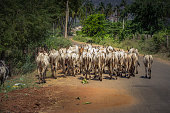 a herd of cows are walking in the street somewhere in the south of india