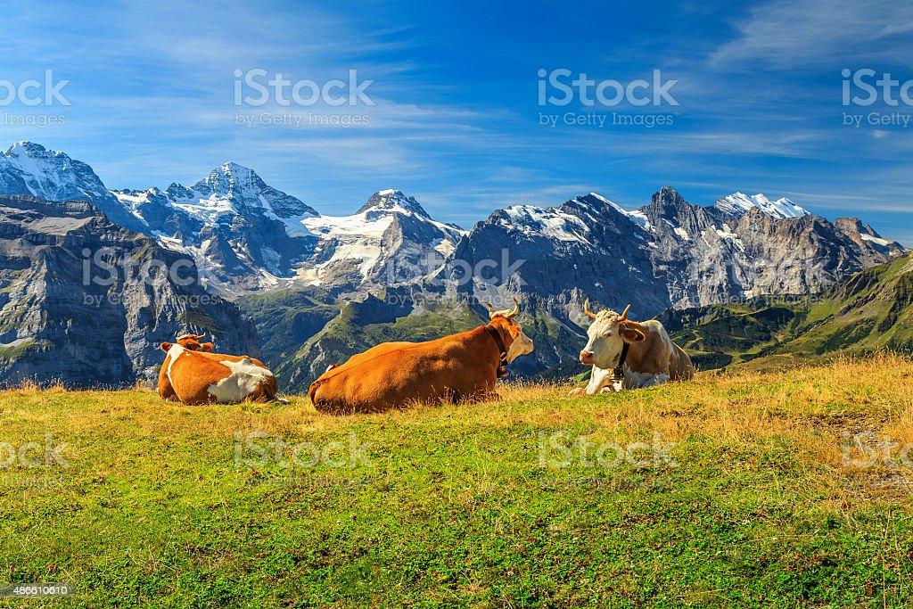 Herd of cows at beautiful green field,Bernese Oberland,Switzerland stock photo