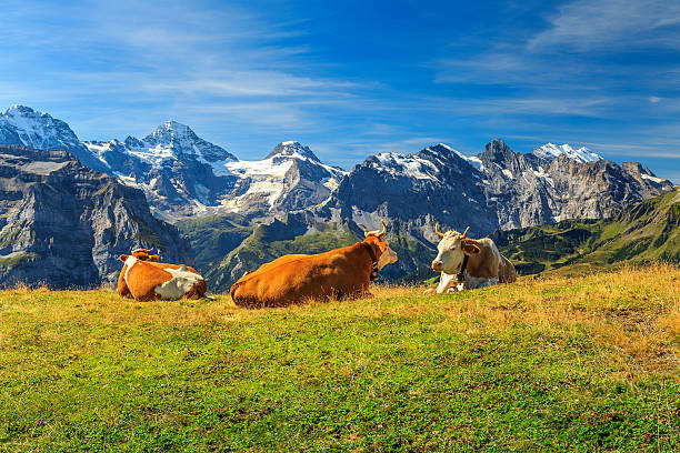 Herd of cows at beautiful green field,Bernese Oberland,Switzerland Cows grazing on a meadow and high snowy mountains in background,Mannlichen,Bernese Oberland,Switzerland,Europe swiss alps stock pictures, royalty-free photos & images