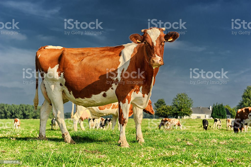 Herd of cows at green field stock photo