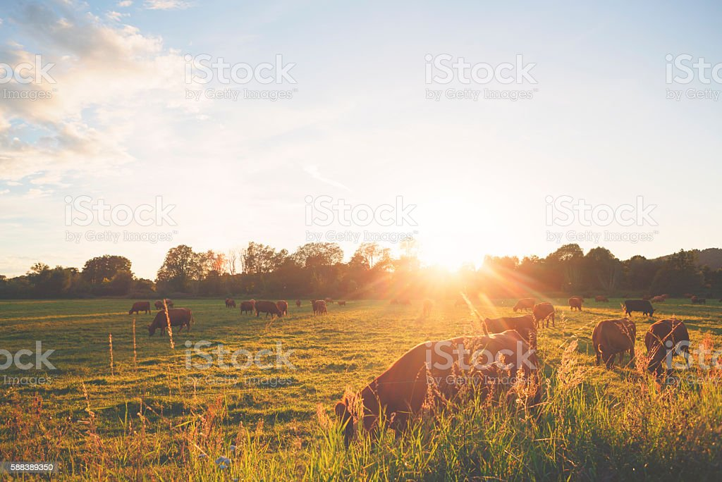 Herd of cows at the meadow against sunset stock photo