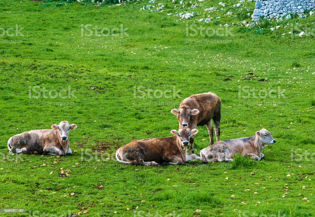 Herd of cows grazing at summer green field (cow, dairy, field) photo libre de droits