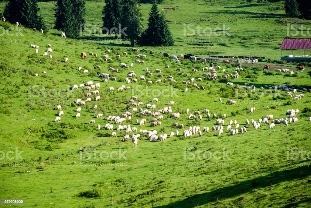 Herd of cows grazing in mountain meadow royalty-free stock photo