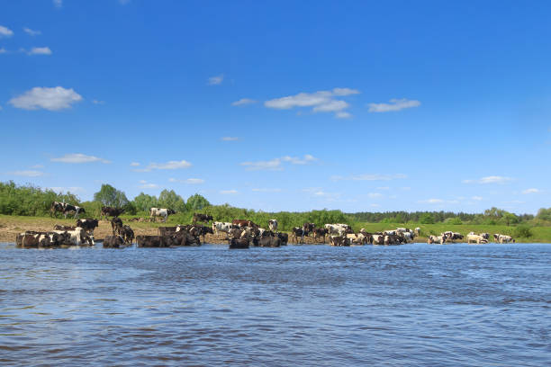 Herd of cows grazing on the river bank stock photo