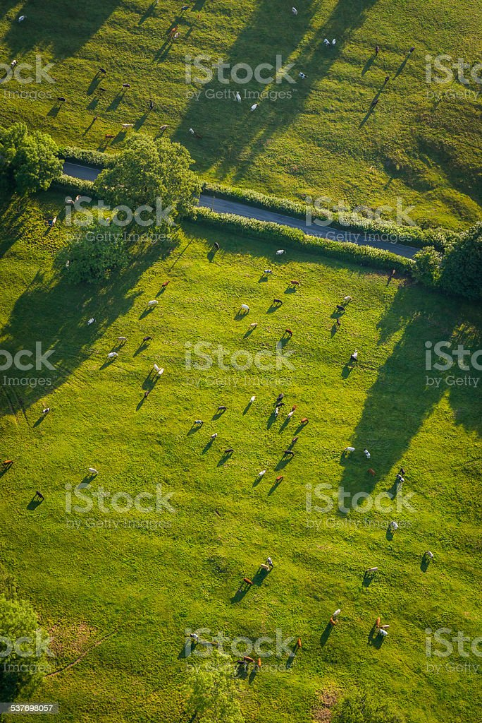 Herd of cows green pasture rural fields landscape aerial photo stock photo