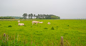 Herd of cows in a green meadow in spring