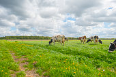 Herd of cows in a green meadow in sunlight in spring
