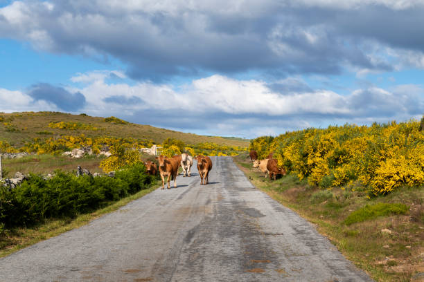 a herd of cows in a rural road near the traditional village of pitoes das junias - vila real imagens e fotografias de stock
