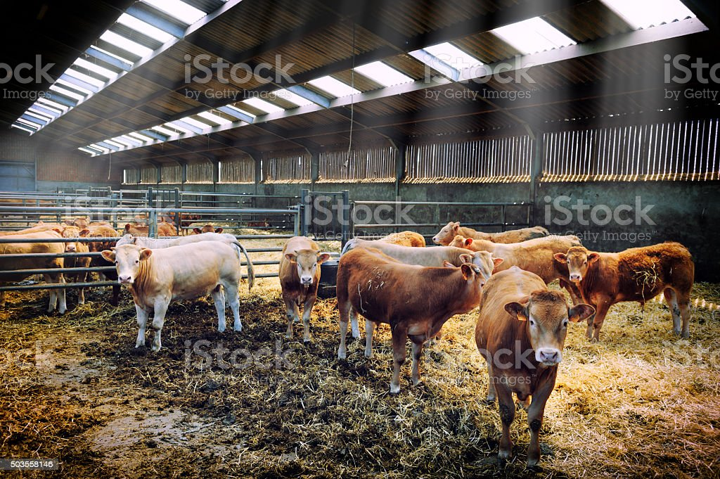 Herd of cows in cowshed stock photo
