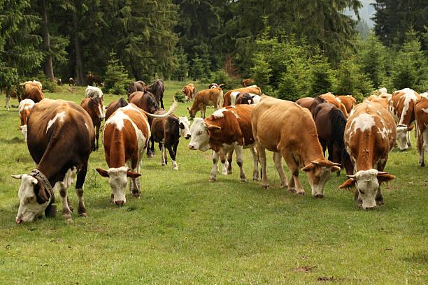 Herde von Kühen in der Pasture – Foto