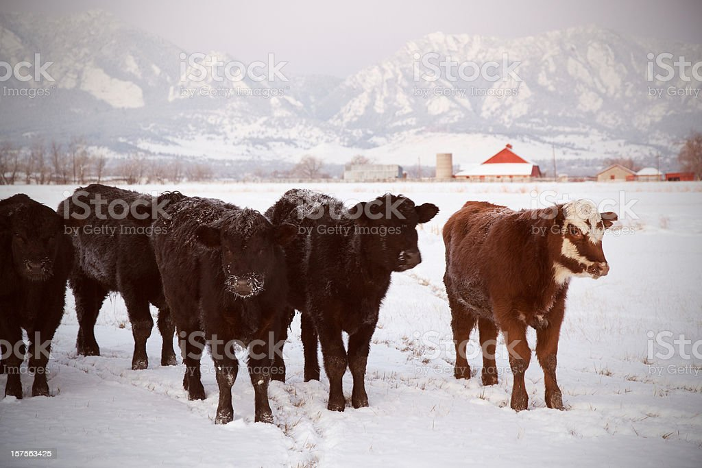 Herd of Cows in Snow royalty-free stock photo