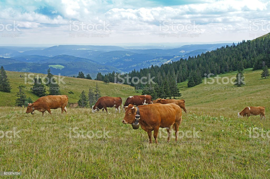 Herd of cows in the Black Forest stock photo