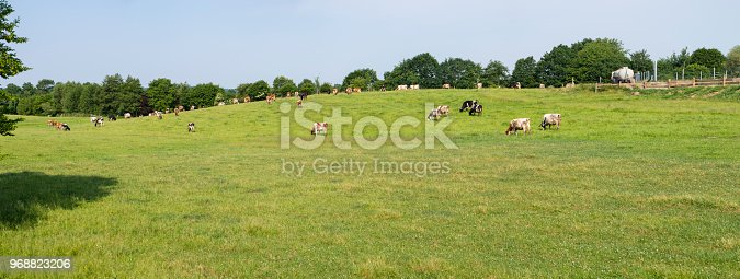 Herd of cows on a pasture in spring