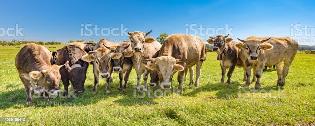 Eine Herde Kühe auf einer Weide im Sommer in Bayern - Braunvieh – Foto