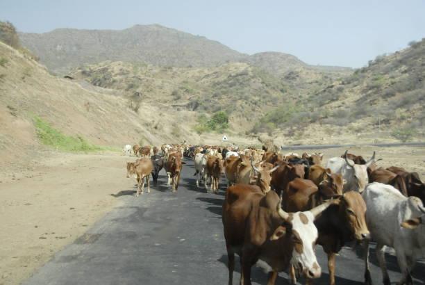 Troupeau de vaches sur une route en Ethiopie. - Photo