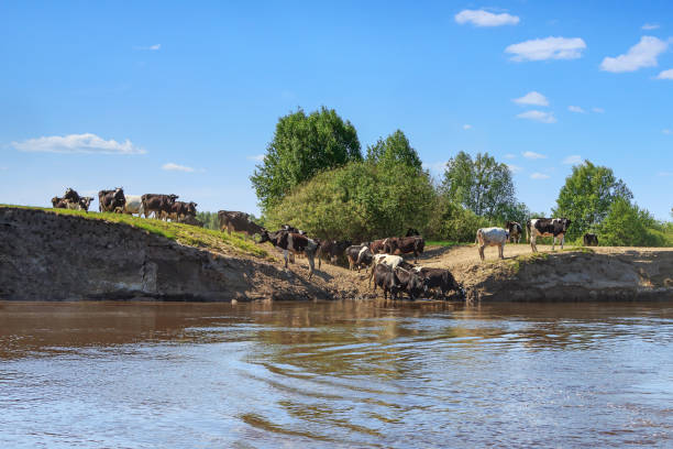 Herd of cows on a steep river bank stock photo