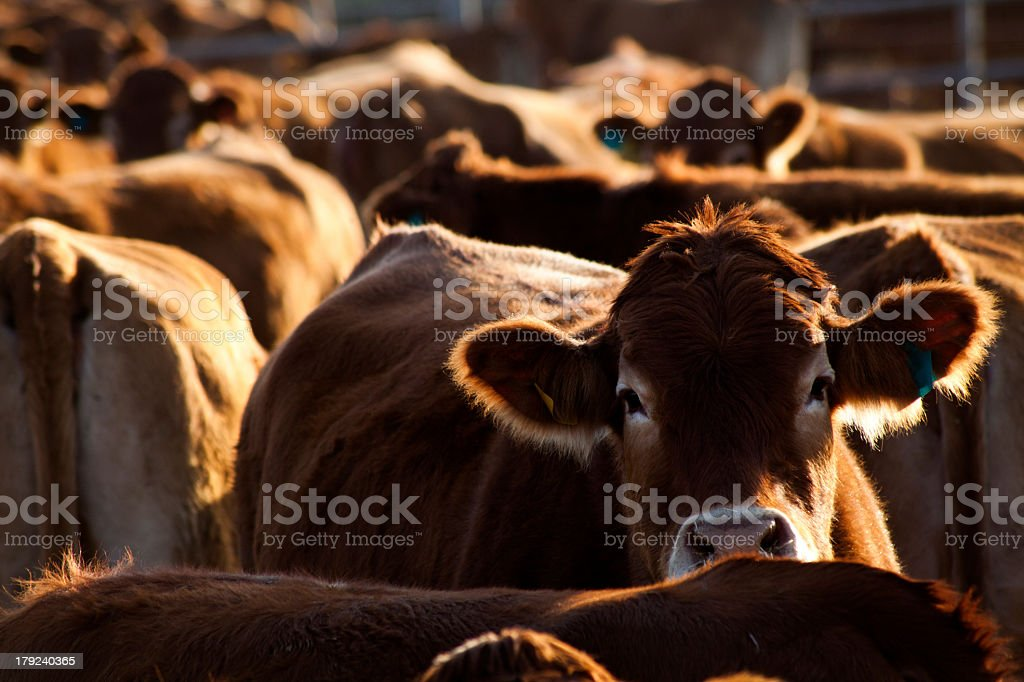 Herd of cows on farm waiting for feeding stock photo
