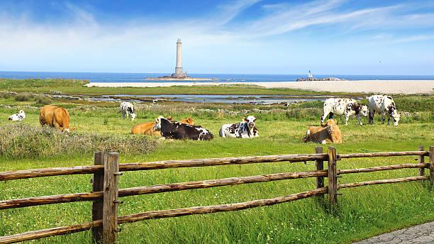Troupeau de vaches de pâturage. - Photo